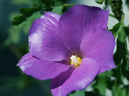 Blue_hibiscus_2