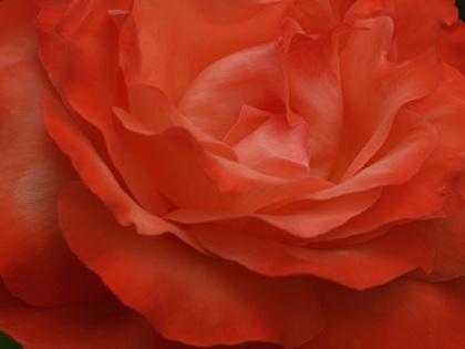 Ht_rose_sanka