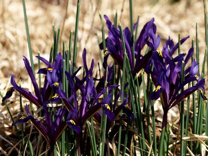 Iris_reticulata090312