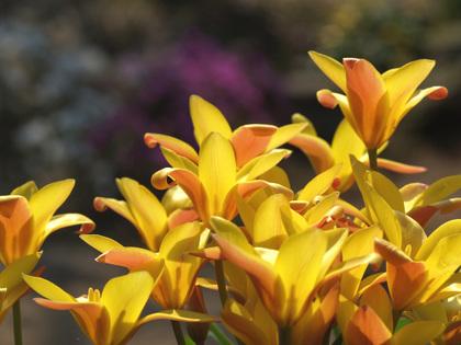Chrysantha090413