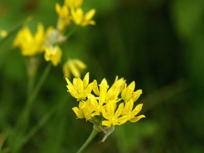 Allium_moly