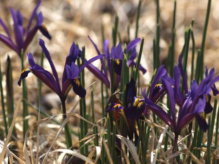 Iris_reticulata1003
