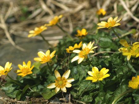 Ranunculus_ficaria_2011