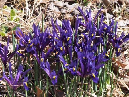Iris_reticulata2014