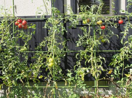 Tomato1410