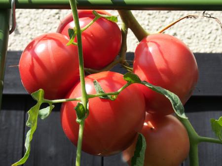 Tomato_up1410