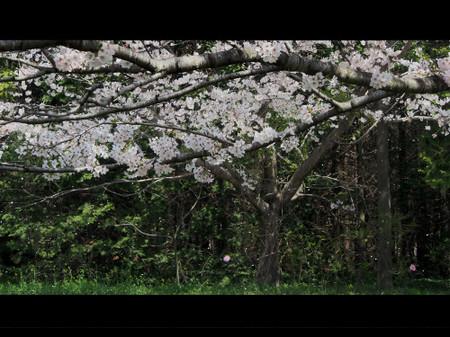 Sakuraen_hanabfubuki
